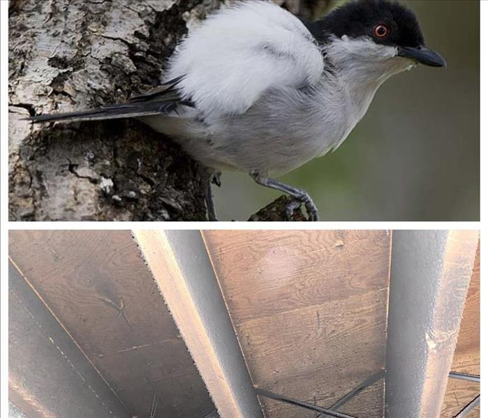 Pretty Puff Back bird and a soot-filled floor joist system.